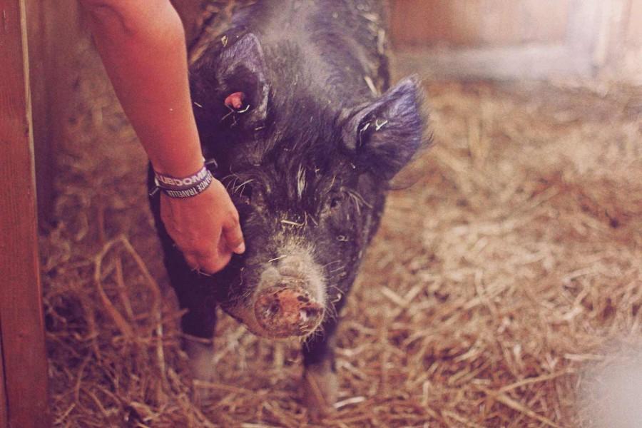 Berkshire Schweine auf dem Hof von Siegbert Ochsenschläger in Biblis-Wattenheim