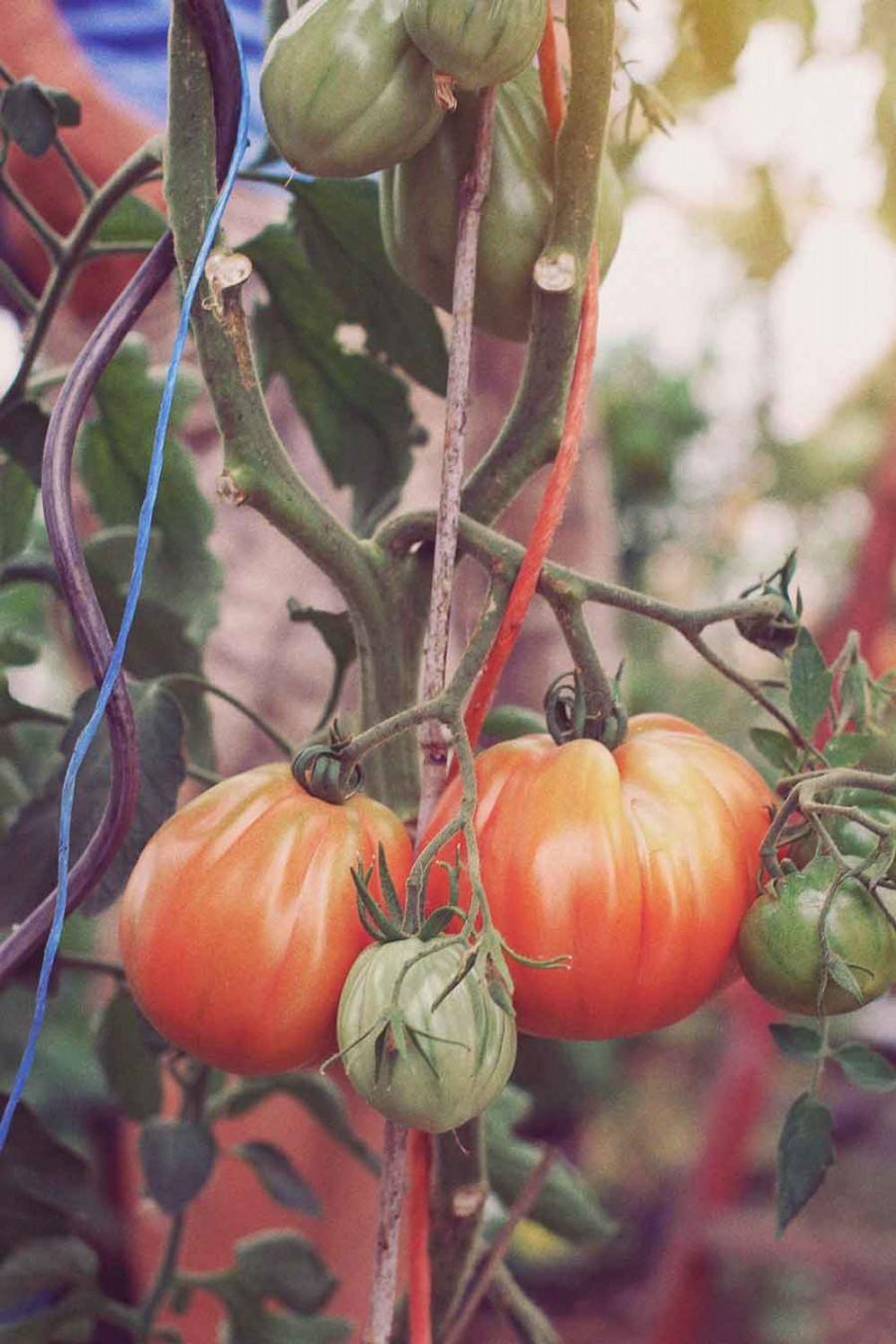 Ochsenherz-Tomaten bei Ochsenschläger in Biblis-Wattenheim