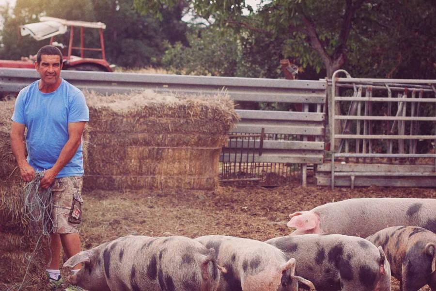 Bunte bentheimer Schweine auf dem Hof von Siegbert Ochsenschläger in Biblis-Wattenheim