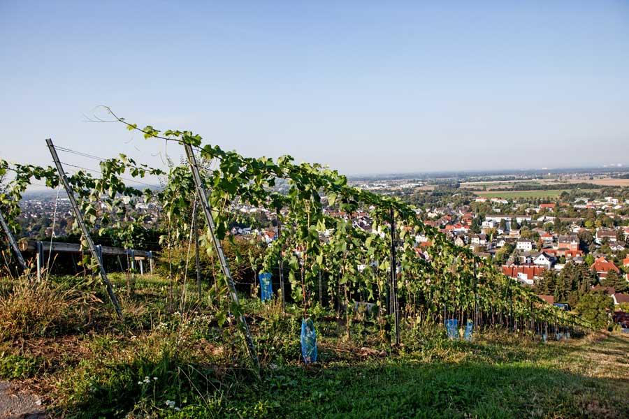 Junger Syrah über Bensheim-Auerbach