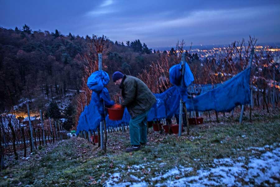 Eisweinlese: Blick über Bensheim-Auerbach an der Bergstraße