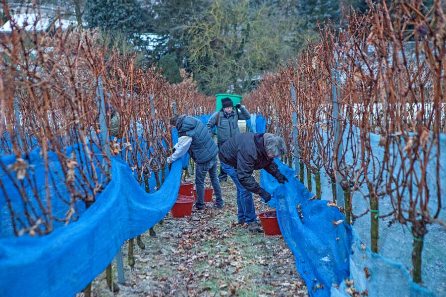 Eisweinlese: Cabernet Sauvignon im Weingut Rothweiler in Bensheim-Auerbach an der Bergstraße