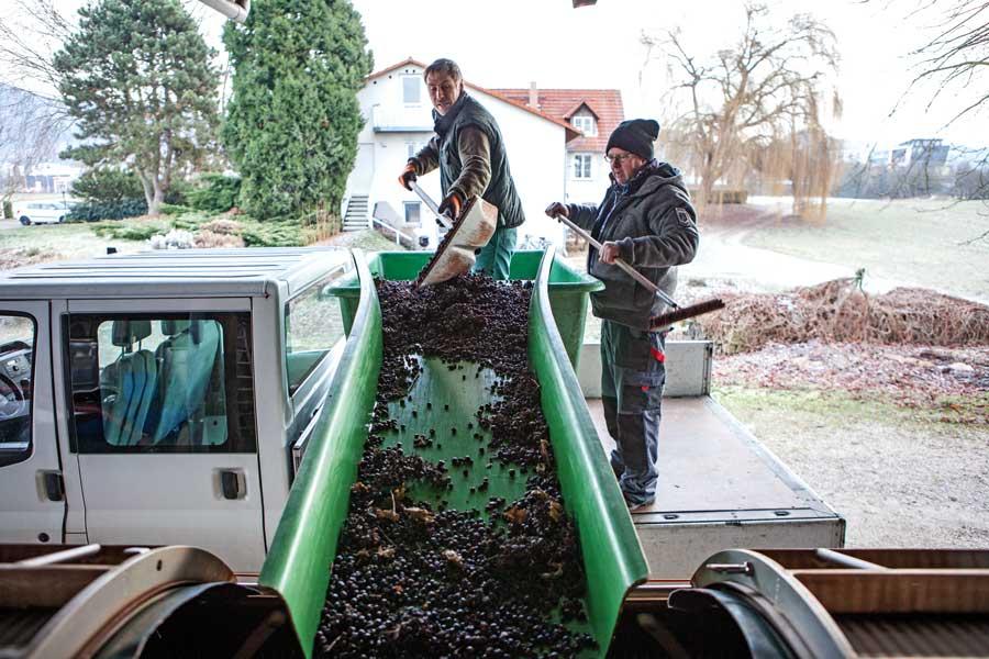 Eisweinlese: Kelter im Weingut Rothweiler in Bensheim-Auerbach an der Bergstraße