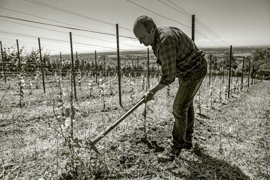 Bodenpflege im Weinberg. Der Boden wird aufgelockert