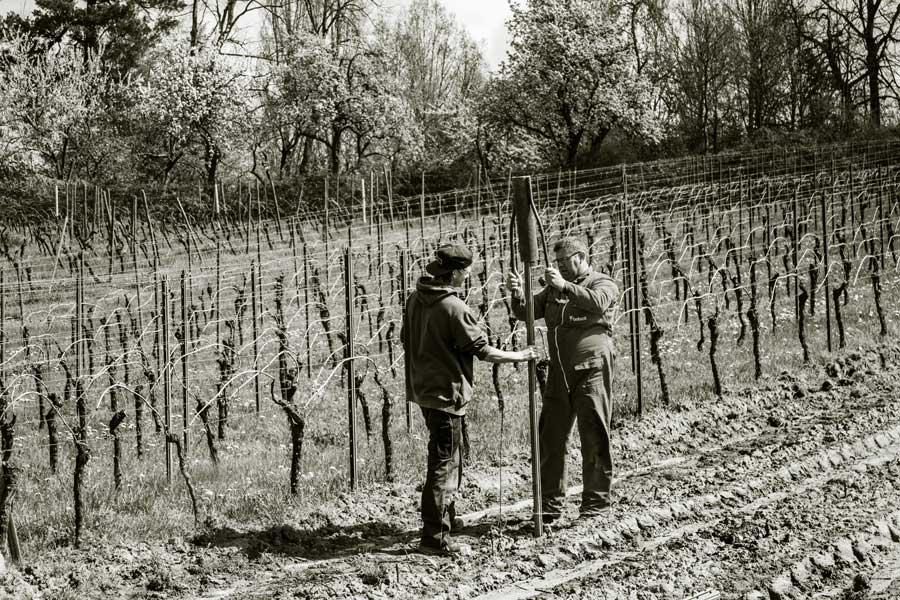 Der Reihenstickel wird mit der Pfahlramme in den Weinberg getrieben