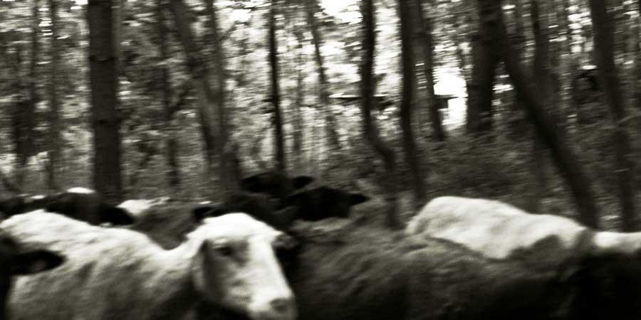 Schafe bei Pfungstadt