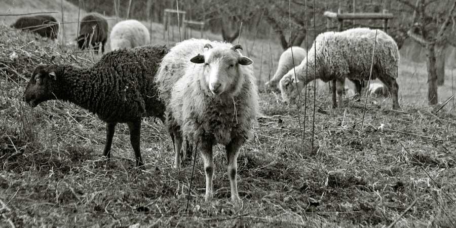 Weidende Schafe bei Nieder-Beerbach