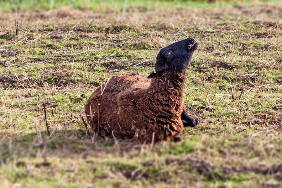 Lämmer_schwarz und weiß mit braunem Schaf
