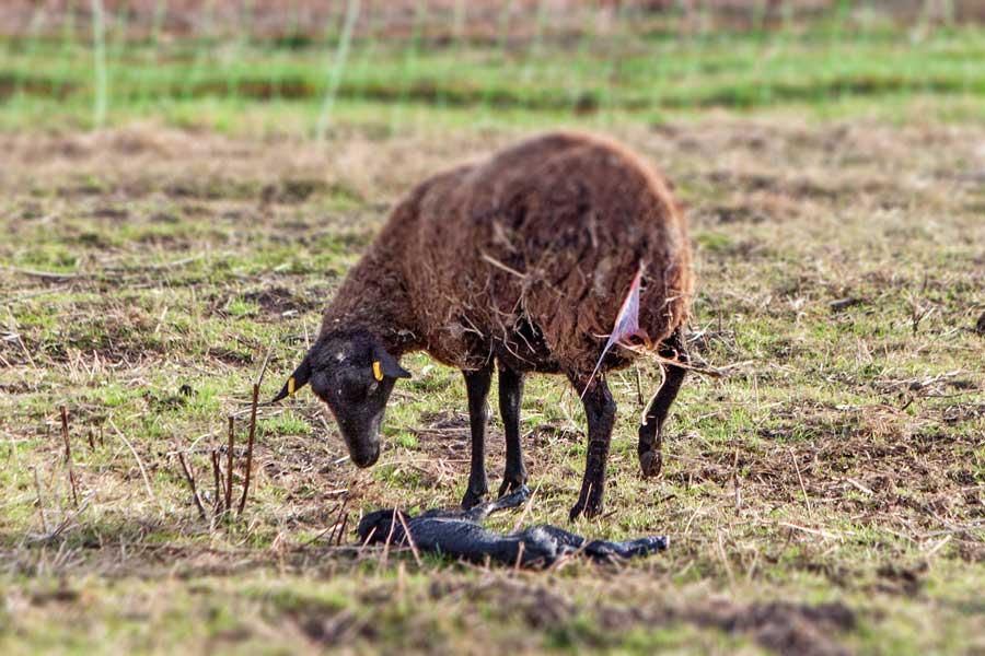 Lämmer_schwarz und weiß mit braunem Schaf_Geburt des ersten Lamms