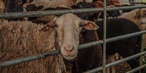 Schafschur bei Pfungstadt am Erlensee