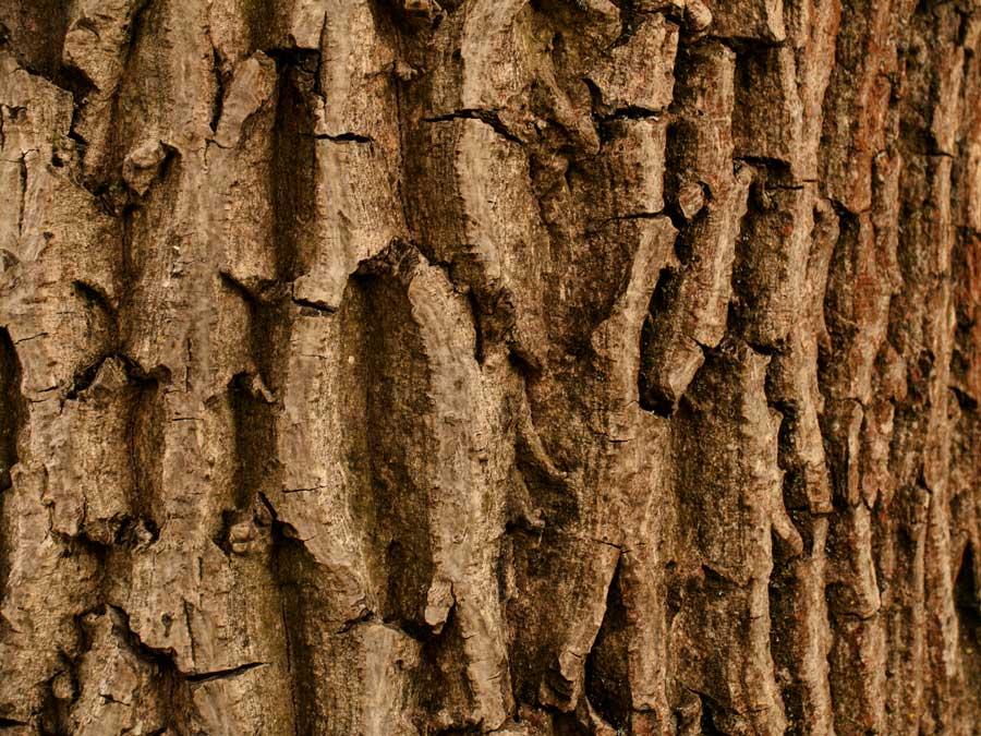 Schwarze Nüsse aus dem Odenwald – das sind unreif eingelegte Walnüsse