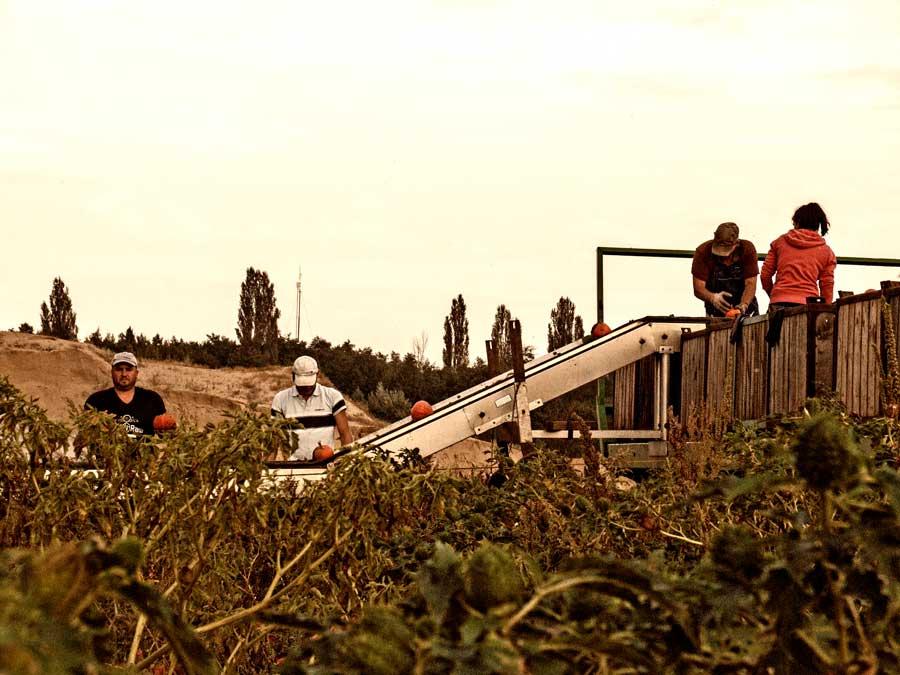 Ernte des Hokkaido Kürbis im Eichwaldhof in Darmstadt