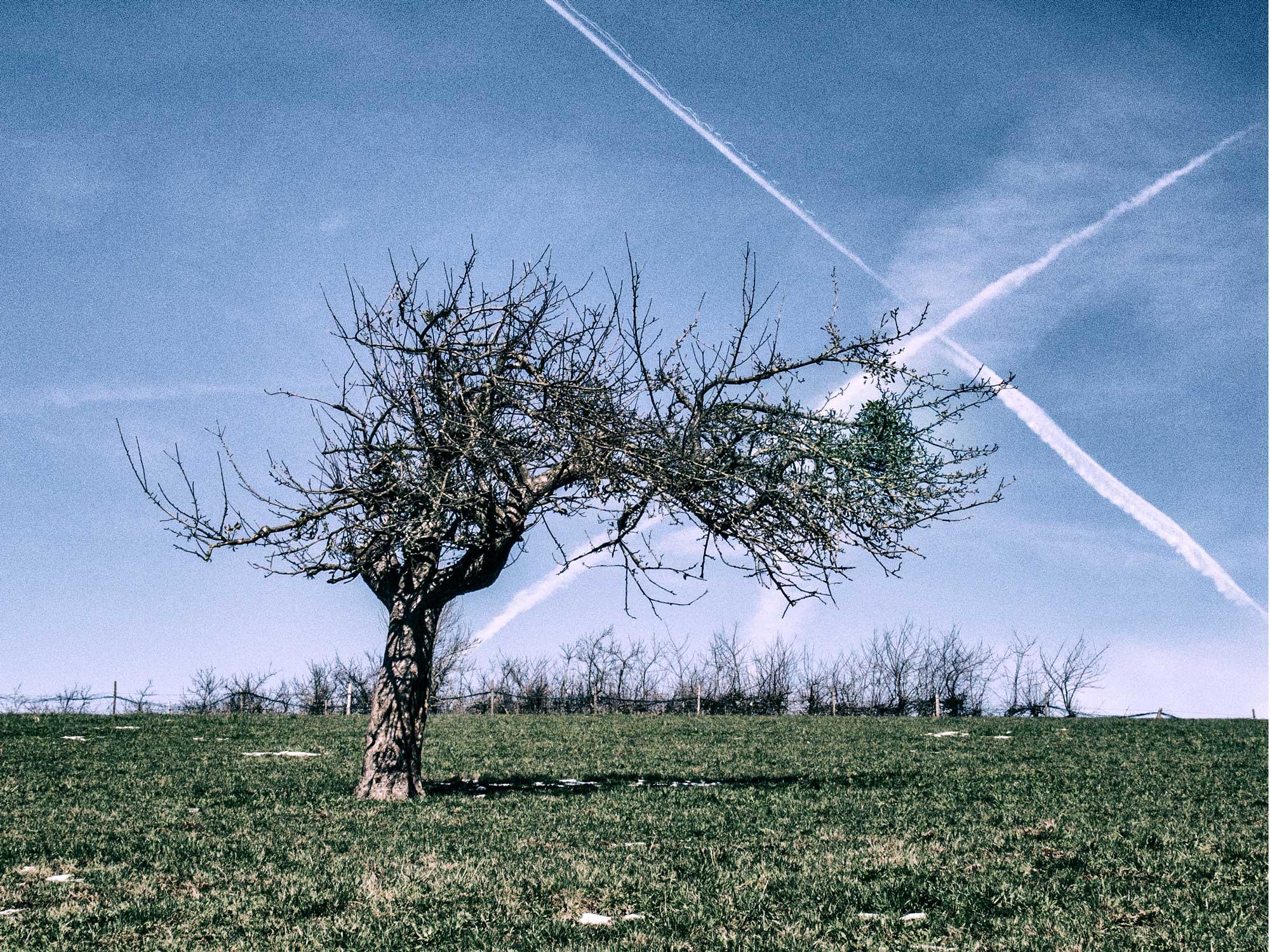 Misteln in Obstbäumen und Streuobstwiesen in Hessens tiefem Süden