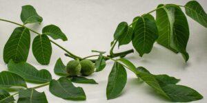 Grüne Walnüsse für Walnusswein und Schwarze Nüsse